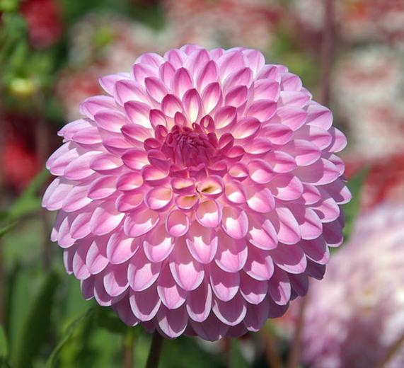 Fresh Dahlia Flower