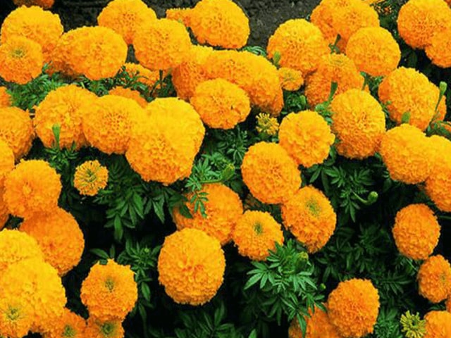 Calcutta Marigold Plant