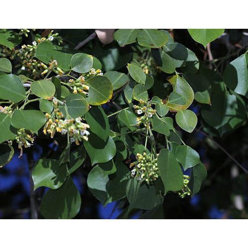 Sheesham Plant