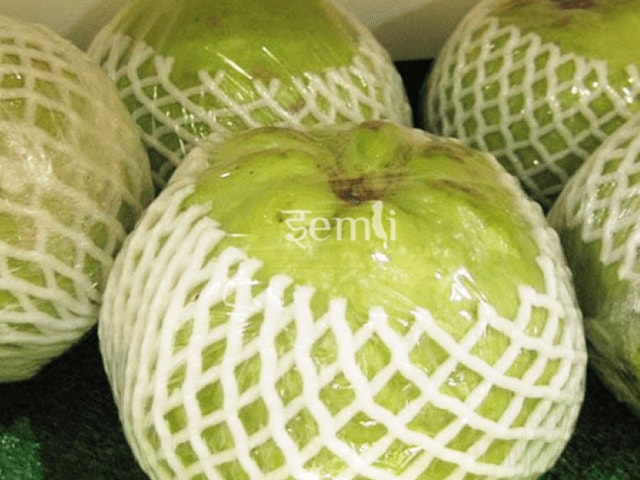 Thai KG Guava Plant