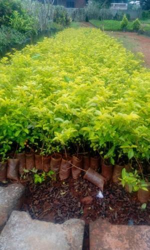 Dhurwanda Sho Plant