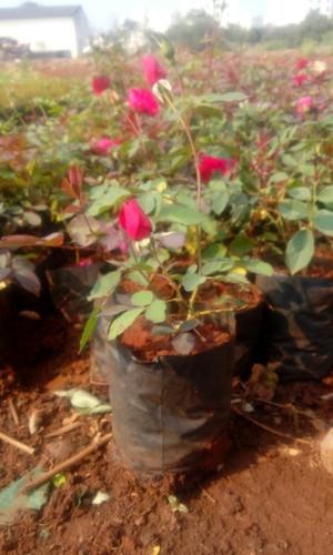 Kashmiri Rose Plant