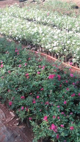 Miniature Garden Rose Plant