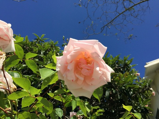 Sophie Open Field Rose Plant