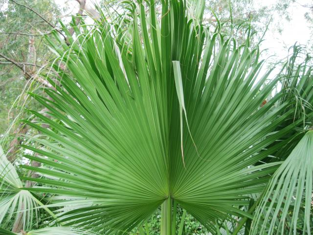 Palm Leaves 03