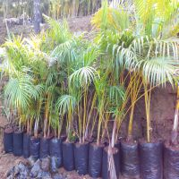 Areca Plants