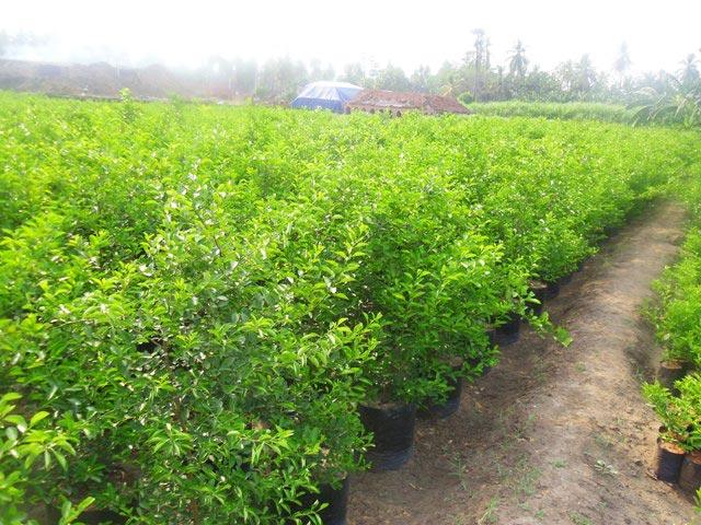 Citrus Lemon Nursery Plant