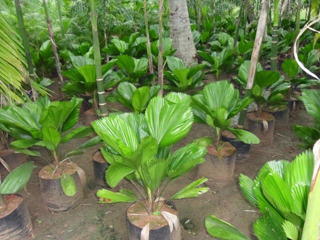 Grandis Palm Plant