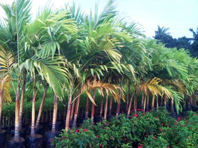 Vichia Palm Gold Plant