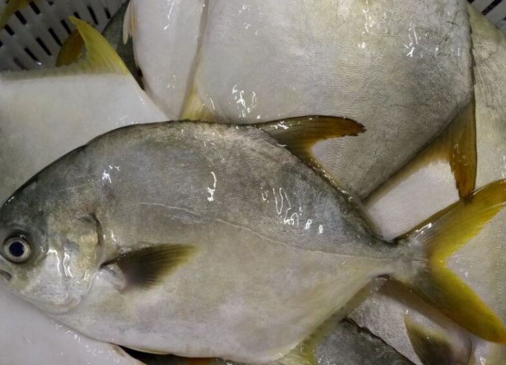 Golden Pomfret Fish