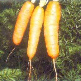 Daucus Carota Medicinal Seeds