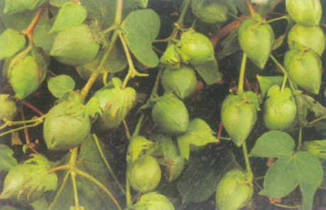 Cotton Seeds (Bajrang BG-II)