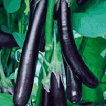 Early Long Purple Eggplant Seeds