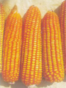 Hybrid Maize Seeds (Arjun)