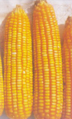 Hybrid Maize Seeds (Safal X-1)