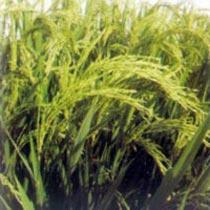 Paddy Seeds (Gajni)