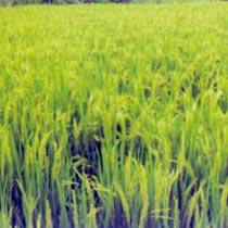 Paddy Seeds (Suman)