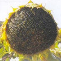 Sunflower Seeds (Suryakiran)