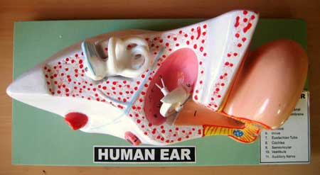Anatomy Human Ear