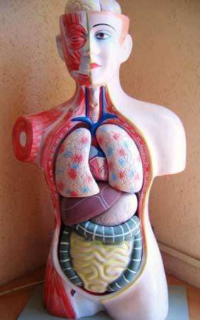 Anatomy Human Lungs