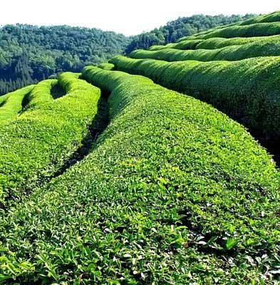 South Indian Green Tea