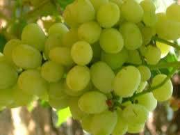 Ganesh Grapes