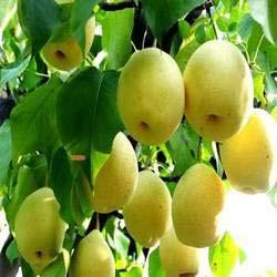 SU Pears