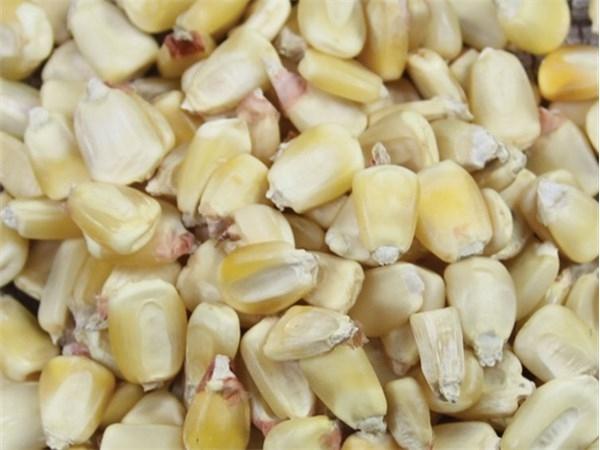Non GMO White Corn Seeds