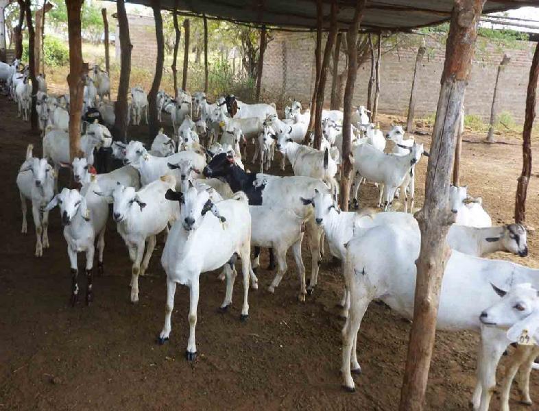 Boer Goat 01