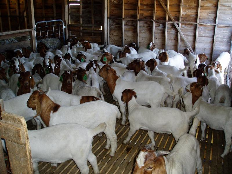 Boer Goat 02