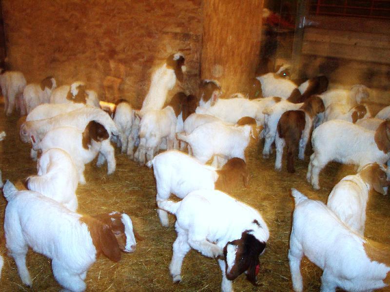 Boer Goat 04