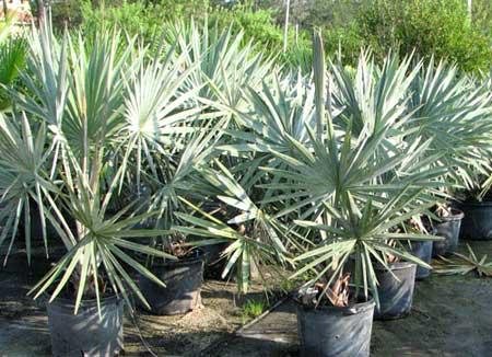 Bismarckia Nobilis Plants