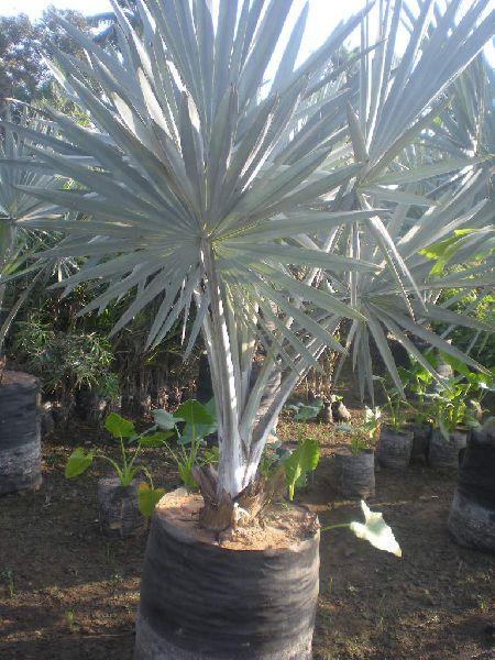 Bismarckia Plant