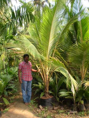 Cocos Nucifera Plants