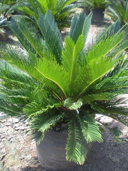 Couscous Plant