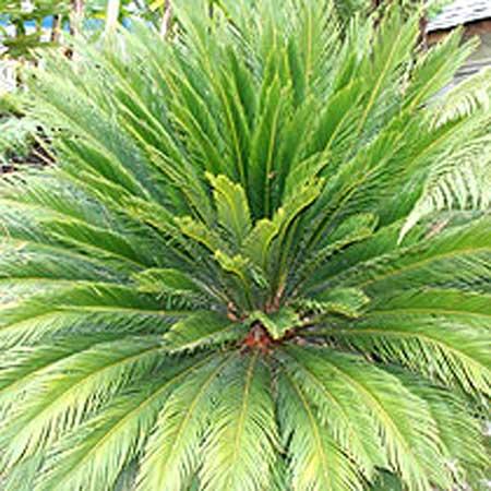 Cycas Revoluta Plants