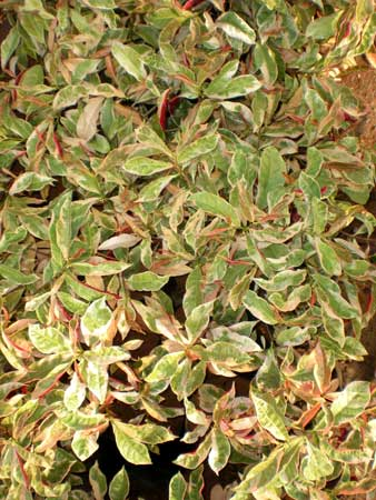 Excoecaria Cochinchinensis Plants