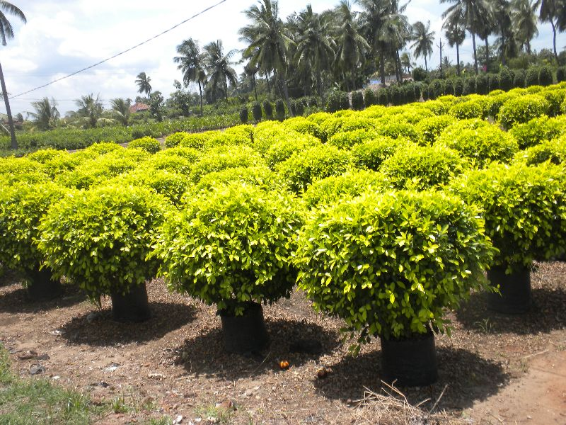 Ficus Panda Plant
