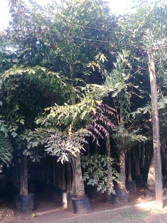 Fishtail Palm Plants