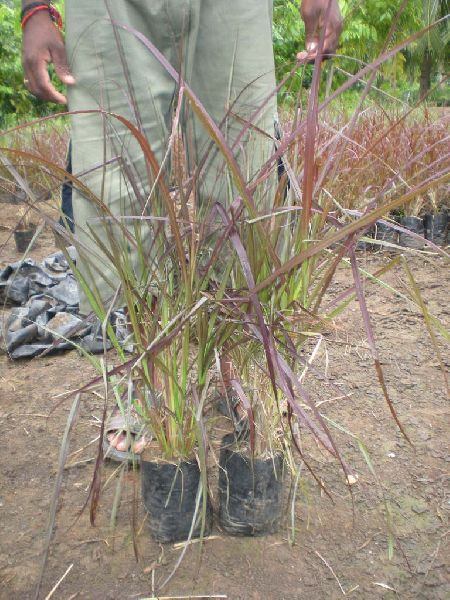 Fountain Grass Plant 02