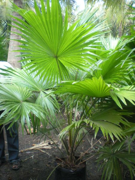 Table Palm Plant