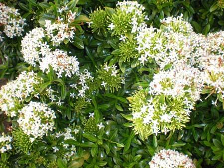 White Ixora Plants