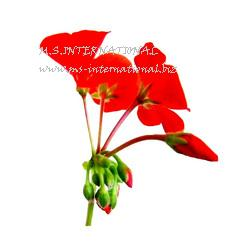 Geranium Leaf Absolute Oil