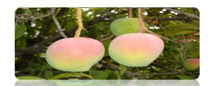 Organic Mango 02