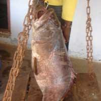 Frozen Fish  (Reef Cod)