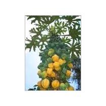 Papaya Cultivation Consultancy