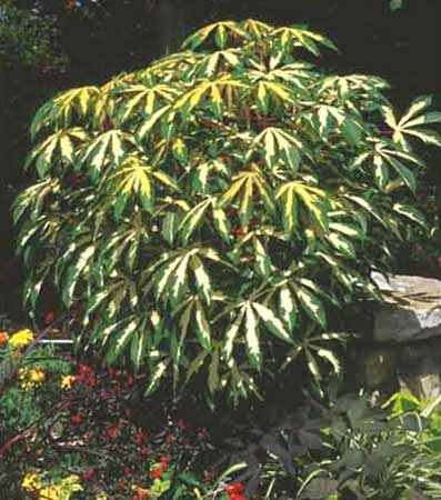 Tepioka Plant
