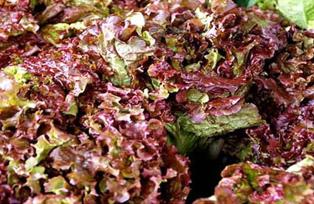 Fresh Red Romaine Lettuce