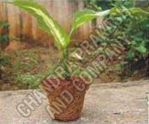 Coir Seed Germination Cup