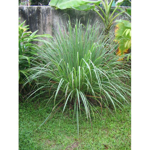 Lemongrass Plants